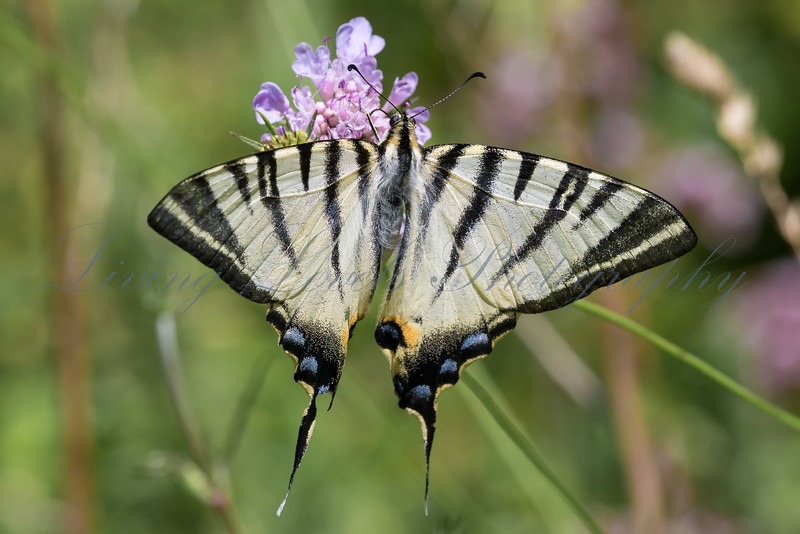 A Scarce Swallowtail butterfly (Iphiclides podalirius) nectaring in afternoon sun on scabious in the Combe de Caray in the Aveyr
