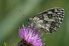 Marbled White (Melanargia galathea) feeding on knapweed