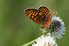A Heath Fritillary butterfly (Mellicta athalia) nectaring in early morning sun on the Col des Fillys in the French Alps
