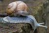 Burgundy snail Helix pomatia at La Bréole