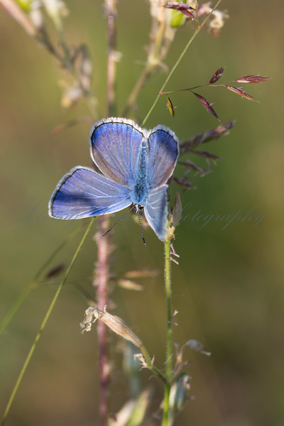 A male Escher's Blue butterfly (Polyommatus escheri) basking in early morning sun on the Col des Fillys in the French Alps