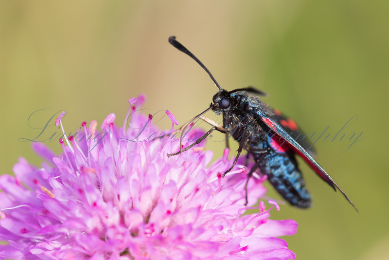 A Five Spot Burnet moth (Zygaena trifolii) nectaring in early morning sun on the Col des Fillys in the French Alps