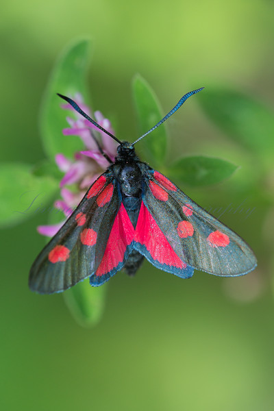 A Five Spot Burnet moth (Zygaena trifolii) nectaring in early morning sun at La Breole in the French Alps