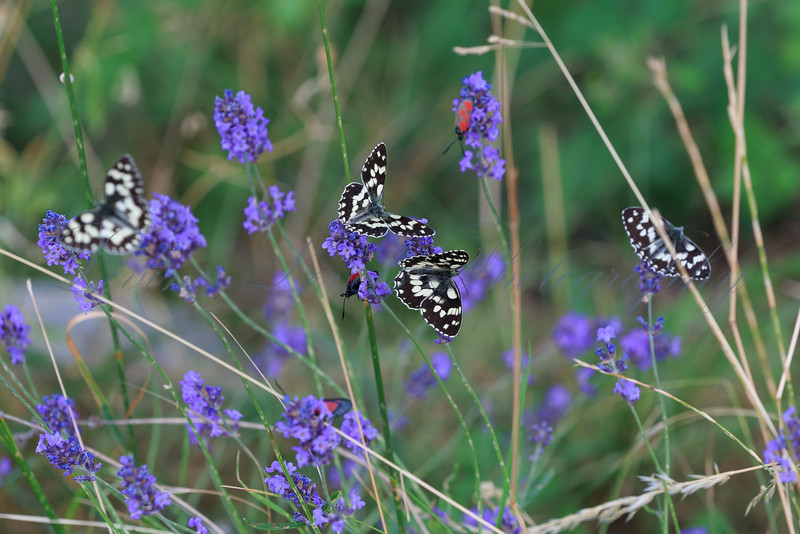 Marbled White butterflies and Burnett moths feed on lavender near Thoard in Provence