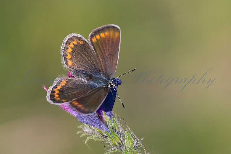 A female Escher's Blue butterfly (Polyommatus escheri) nectaring in early morning sun on the Col des Fillys in the French Alps