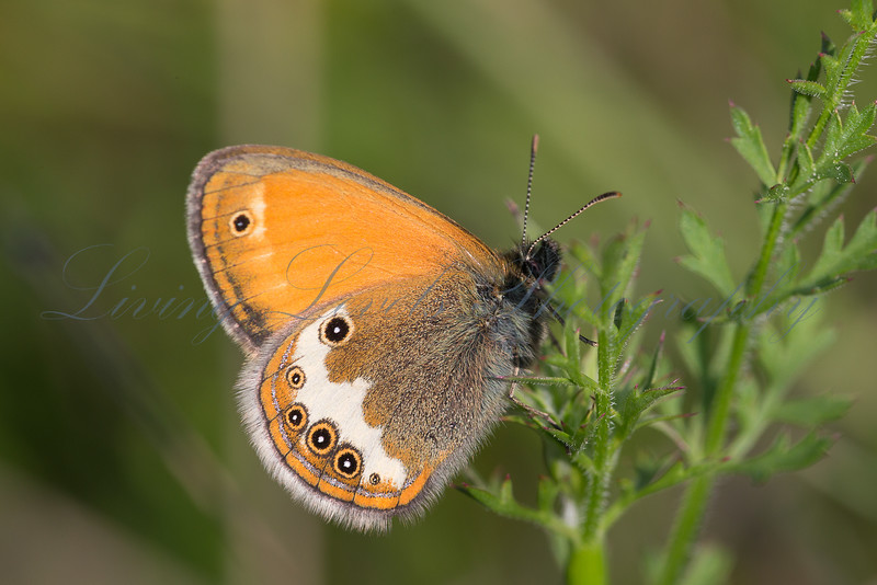A Darwin's Heath (Coenonympha darwiniana) resting on foliage on the Col des Fillys in the French Alps