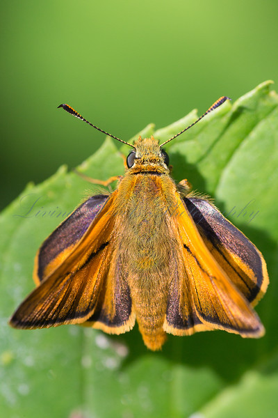 A Large Skipper butterfly (Ochlodes faunus), basking in summer sun at La Breole in the French Alps