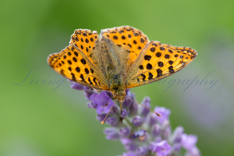 Queen of Spain Fritillary butterfly (Issoria lathonia) nectaring in early morning sun on lavender near Najac in the Aveyron