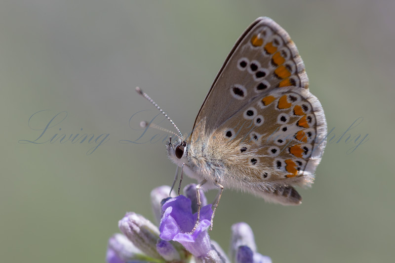 Brown Argos butterfly (Aricia agestis) nectaring in early morning sun on lavender near Najac in the Aveyron
