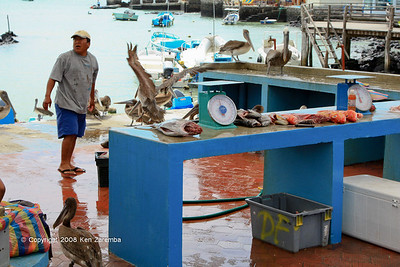 Brown Pelicans working the local fish market in Puerto Ayora, Isla Santa Cruz 11/05/08