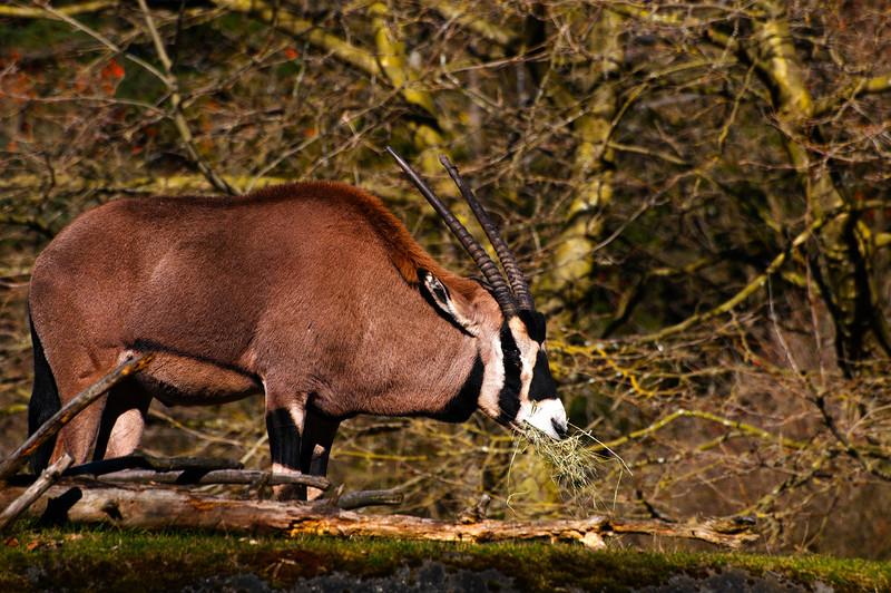Fringe-eared Oryx