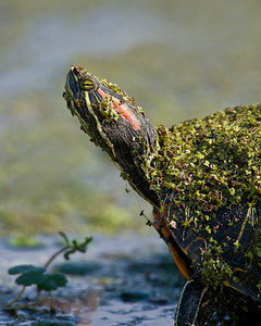Red-Eared Slider Turtle - Duckweed camo Brazos Bend State Park, Texas