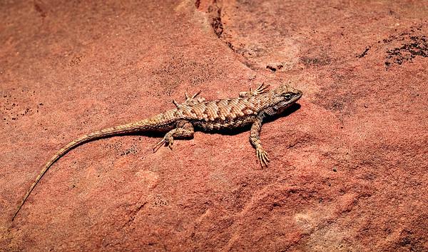 Lizard camoflauge