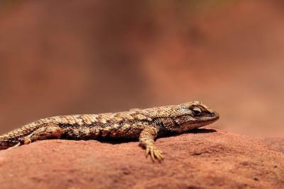 "Lizard ""hiding"""