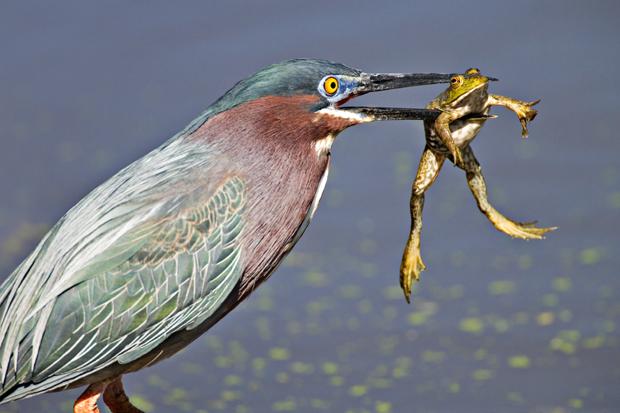 "Green Heron - ""Texas Hospitality"" -  Brazos Bend State Park, Texas"