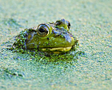 Frog - Brazos Bend State Park, Texas
