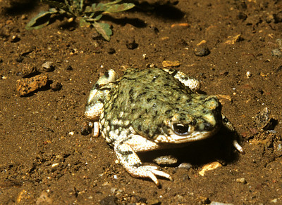 Green Toad (Bufo debilis) Big Bend Nat. Park, TX, 1958