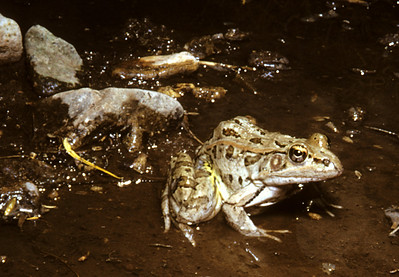 Rio Grande Leopard Frog (Rana berlandieri) Big Bend Nat. Park, TX, 1958