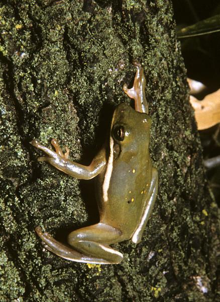 Green Treefrog (<i>Hyla cinerea</i>) probably in Texas, 1959