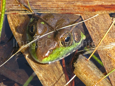 Frog in the lake - 5/6/13