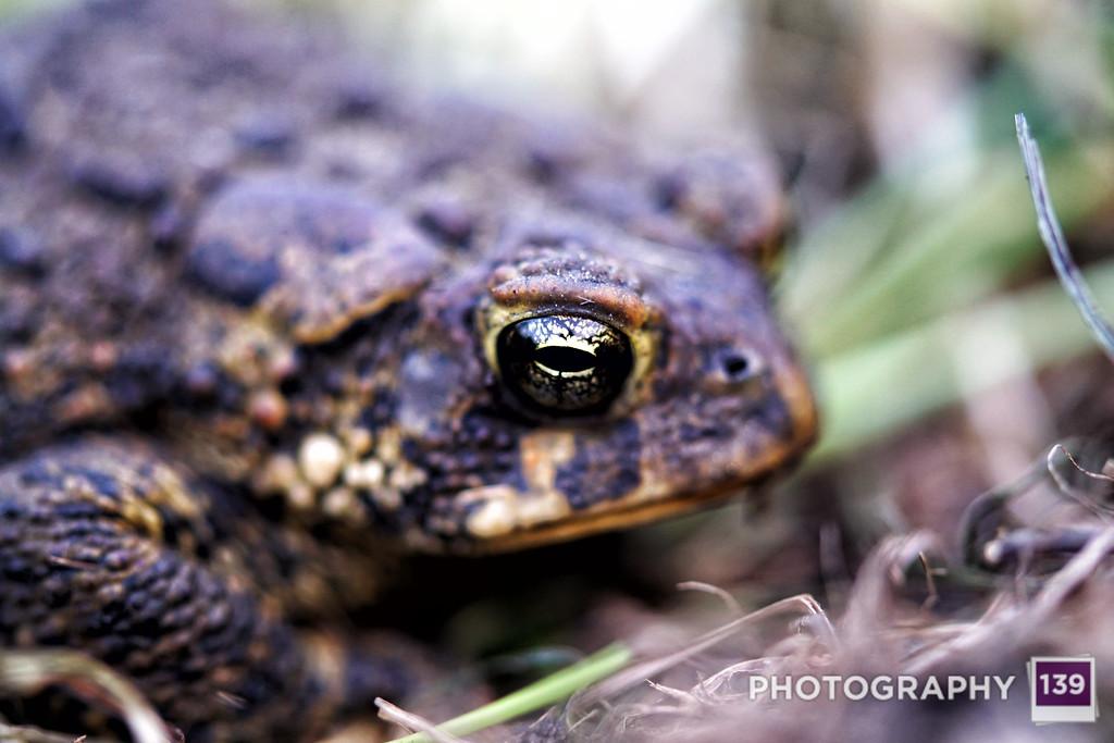Backyard Toad