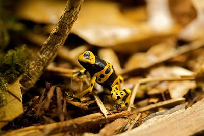 Alder, a young Dendrobates leucomelas poison dart frog