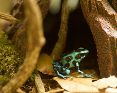 Diels, a young Dendrobates auratus poison dart frog