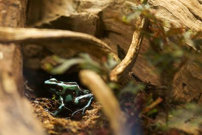 Diels, a young Dendrobates auratus poison dart frog