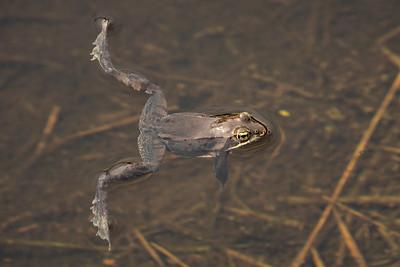 """Wood Frog Mating Season"""