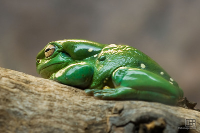 Splendid Tree Frog (Litoria splendida)