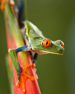 Red Eyed Tree Frog.  Selected as picture of the day.