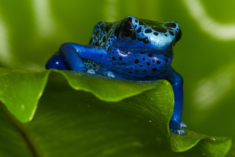 Blue dart frog