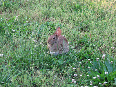 Front Yard Bunny