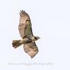 2017 September 14 Hawks birds Frying Pan Park-7535