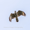 2017 September 14 Hawks birds Frying Pan Park-7525