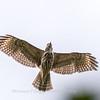 2017 September 14 Hawks birds Frying Pan Park-7533