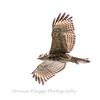 2017 September 14 Hawks birds Frying Pan Park-7529