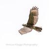 2017 September 14 Hawks birds Frying Pan Park-7532