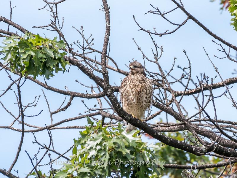 2017 September 14 Hawks birds Frying Pan Park-7562