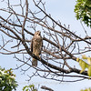 2017 September 14 Hawks birds Frying Pan Park-7552
