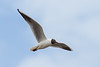Black-headed Gull in flight