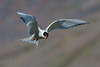 Arctic Tern in flight