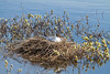 This black-headed gull has found a really beautiful place to nest.