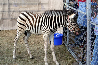 The petting zoo had a baby zebra. If you look close you can see she did not have any teeth. But it looked like she was trying to bite the kids fingers. Good thing for the kids.
