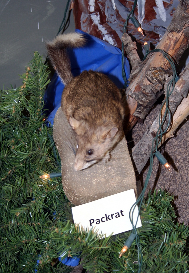 Now you know what a real pack rat looks like.