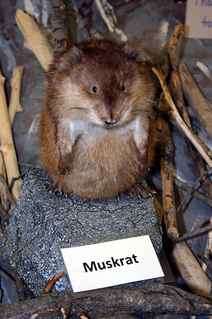 Why does a Muskrat gard its musk???? Courage!!!!