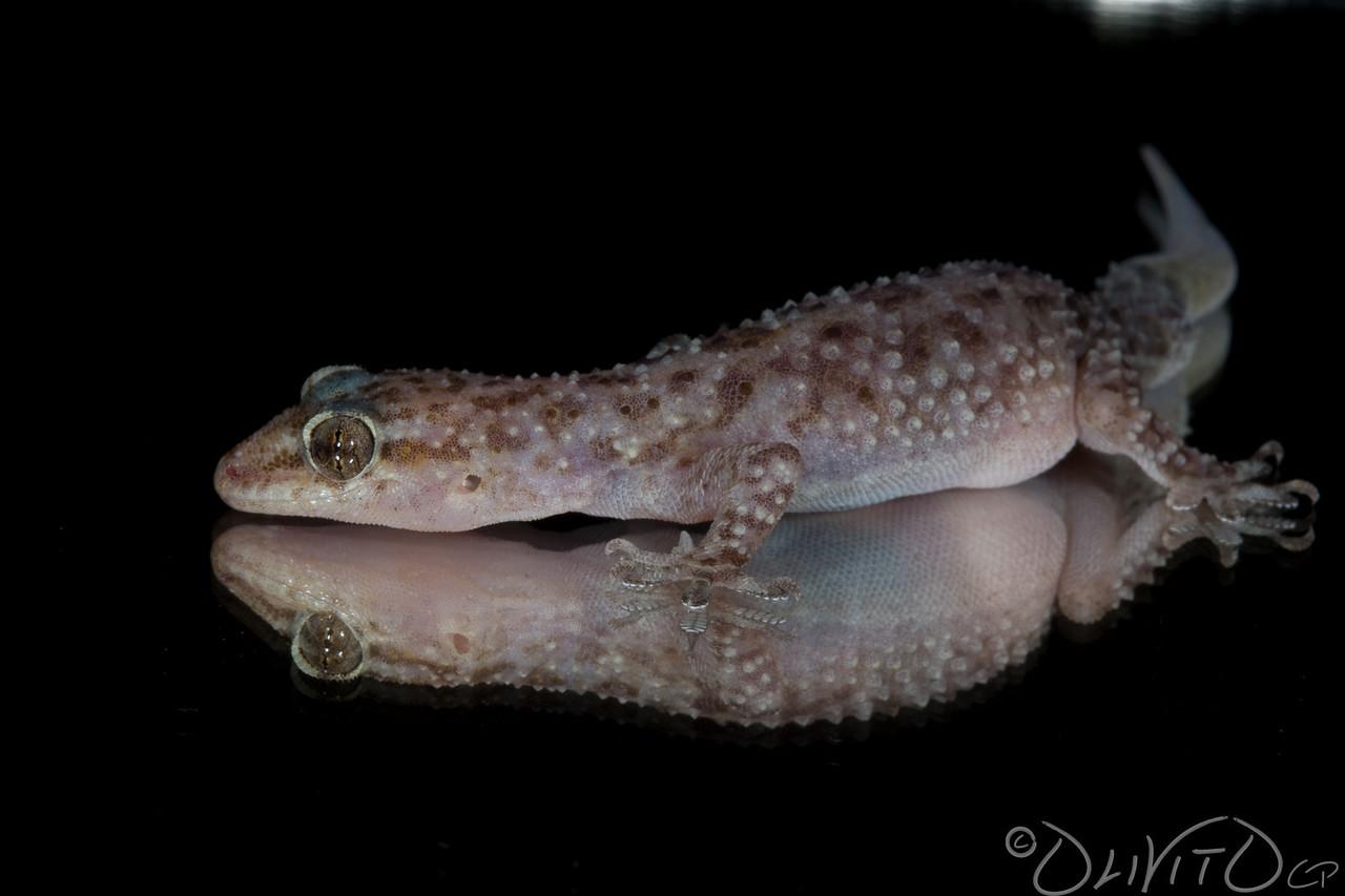 GeckoMirror-16