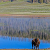 Bison by pond