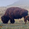 Bison Cow & Calf in the foggy morning