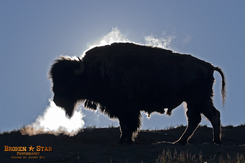 Bison Bull steaming in morning sun